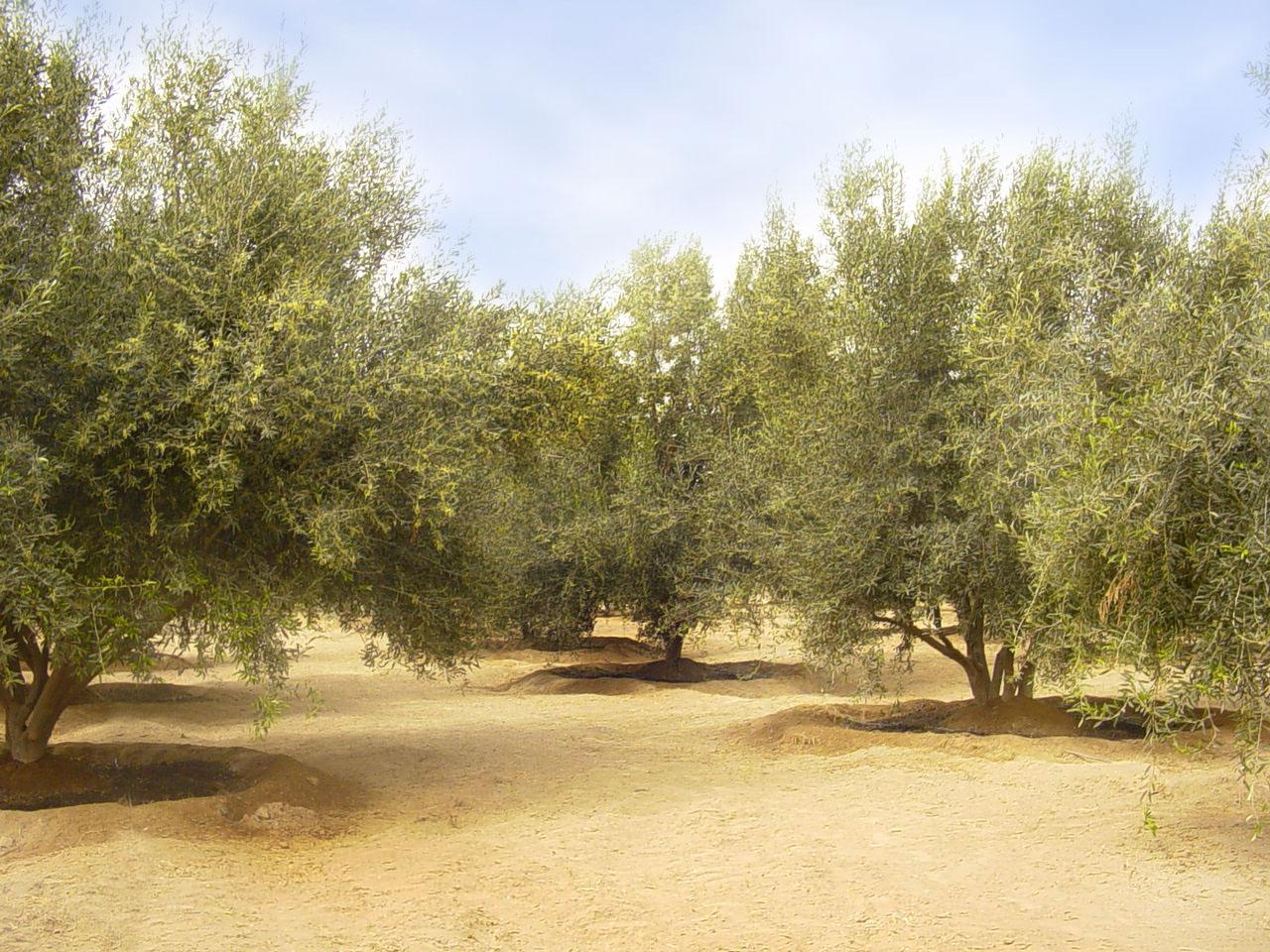 olivos bonitos